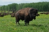 bisons-073-copy