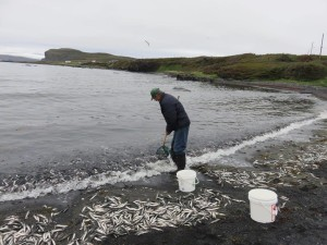 Catching capelin (Photo Kathleen Tucker)