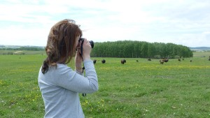 Photographing bison in Alberta.